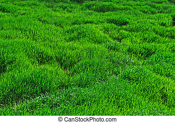 Green grass in the meadow