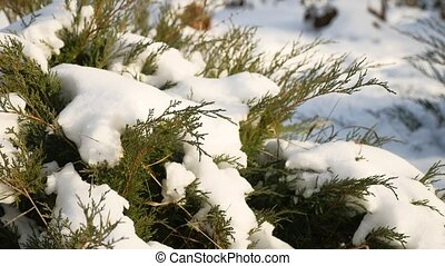 green grass in the winter snow lies on the grass nature...