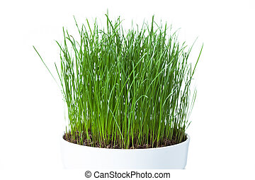 green grass in white pot, isolated on white