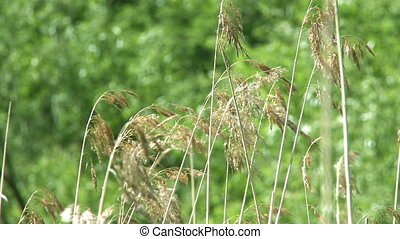 Green grass in wind