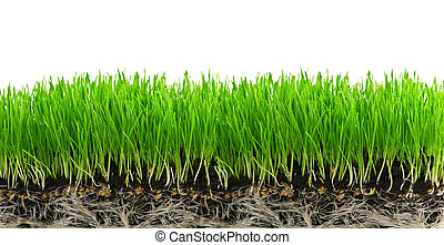 grass - green grass isolated on white background