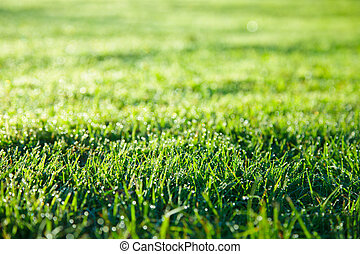 Green grass lawn - Grass with dew drops in the morning light