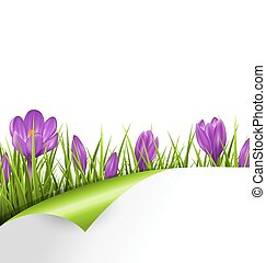 Green grass lawn with violet crocuses and wrapped paper sheet isolated on white. Floral nature spring