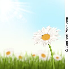 Green grass lawn with white chamomiles flowers and sunlight on sky