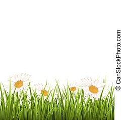 Green grass lawn with white chamomiles isolated on white. Floral nature background