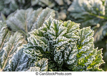 leaves in the frost