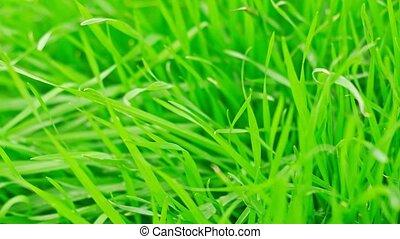 Green grass macro grownd level shot