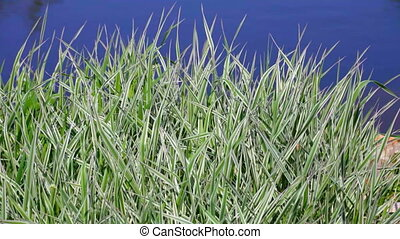 Green grass near water (Phalaris arundinacea)