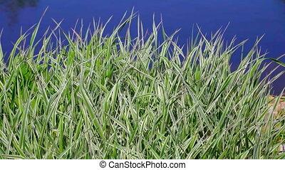 Green grass near water, Phalaris arundinacea