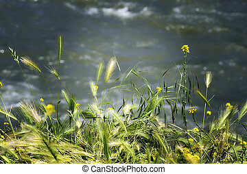 green grass, oats on water background