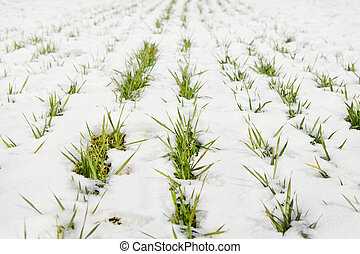Green grass on a field covered with snow