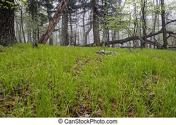 Green Grass On A Foggy Forest Floor