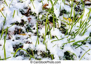green grass on lawn under first snow in autumn