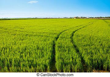 green grass rice field in Spain Valencia