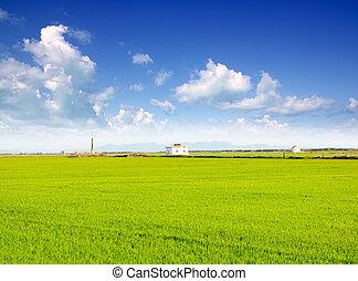 green grass rice field in Valencia Spain