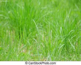 green grass in the spring