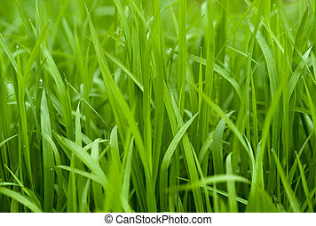 Green grass - Blades of green grass with drops of water