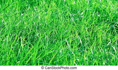 Green grass wavers in the wind
