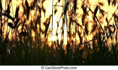 green grass sunset