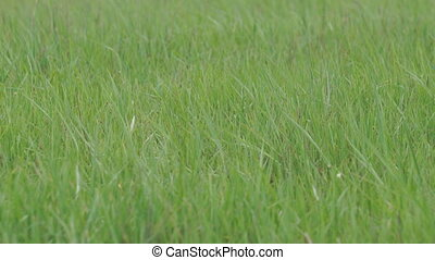 Green grass swaying in wind - Green grass swaying in the...