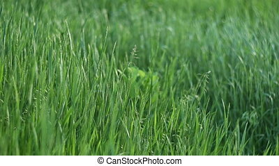 Green grass swaying on wind in spring meadow - Wild green ...