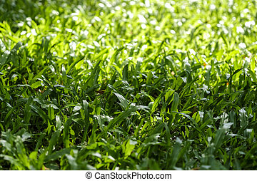 Green grass texture background with sunlight