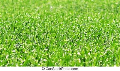 green grass. timelapse.