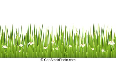 Green grass with blooming chamomiles isolated on white backgroun