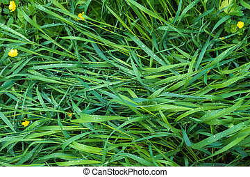 grass with drops of morning dew