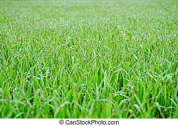 Green Grass With Early Morning Dew Drops - Bokeh In Background