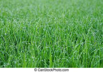 Green grass with, water drops