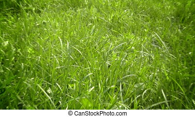 Green grass zoom in