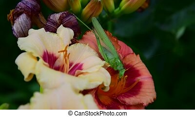 green grasshopper eats pollen on flowers of daylily - A...