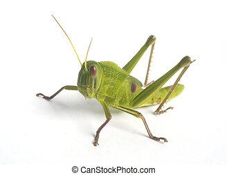 Green Grasshopper - Grasshopper isolated on white background...