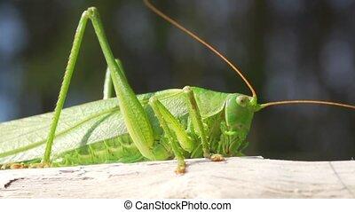 green grasshopper in autumn sun