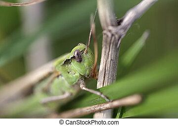 Green grasshopper macro - Shallow DOF green grasshopper...