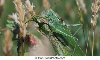 Green grasshopper on a blade of grass