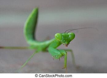 Green grasshopper over gray blurred background