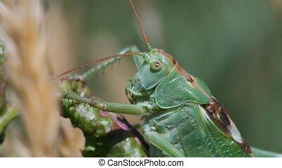 Green grasshopper raises a feeler in a macro shot