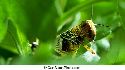 Green grasshopper sitting on leaf. Insect eating something.