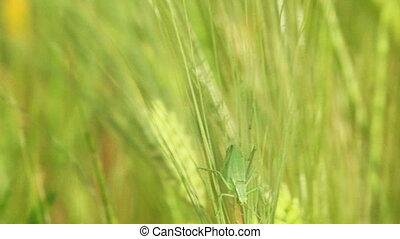 Green grig