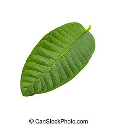 Green Guava leaf isolated over white background.