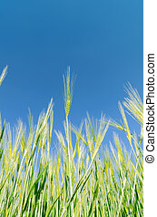 green harvest under deep blue sky