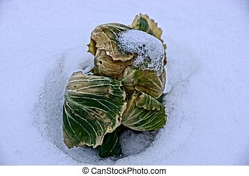 green head of cabbage in the snow