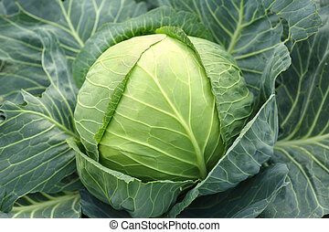 Green head of cabbage