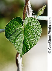 green heart leaf in nature