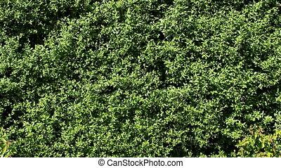 Hedge - Green Hedge background