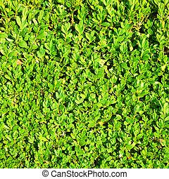 Green hedge bush texture background