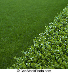 green hedge closeup