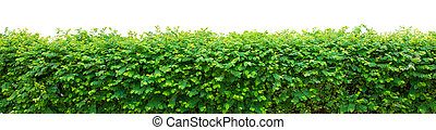 Green hedge on white background